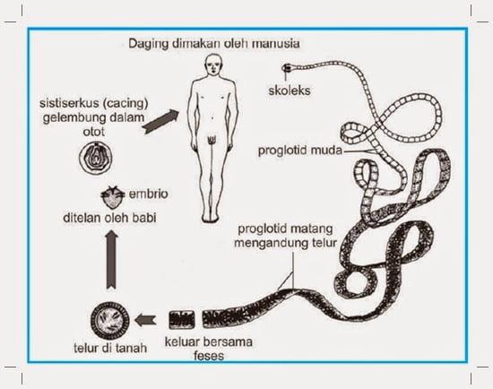 diagrama de filam platyhelminthes